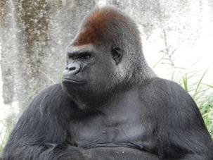 gorilla-928598_960_720